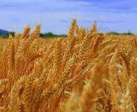 uprawa pszenicy